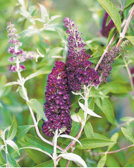 Butterfly Bush product image.